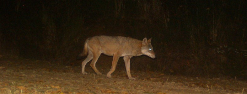 Il lupo dell'acquerino ripreso dalla fototrappola; credits Luca Cecconi