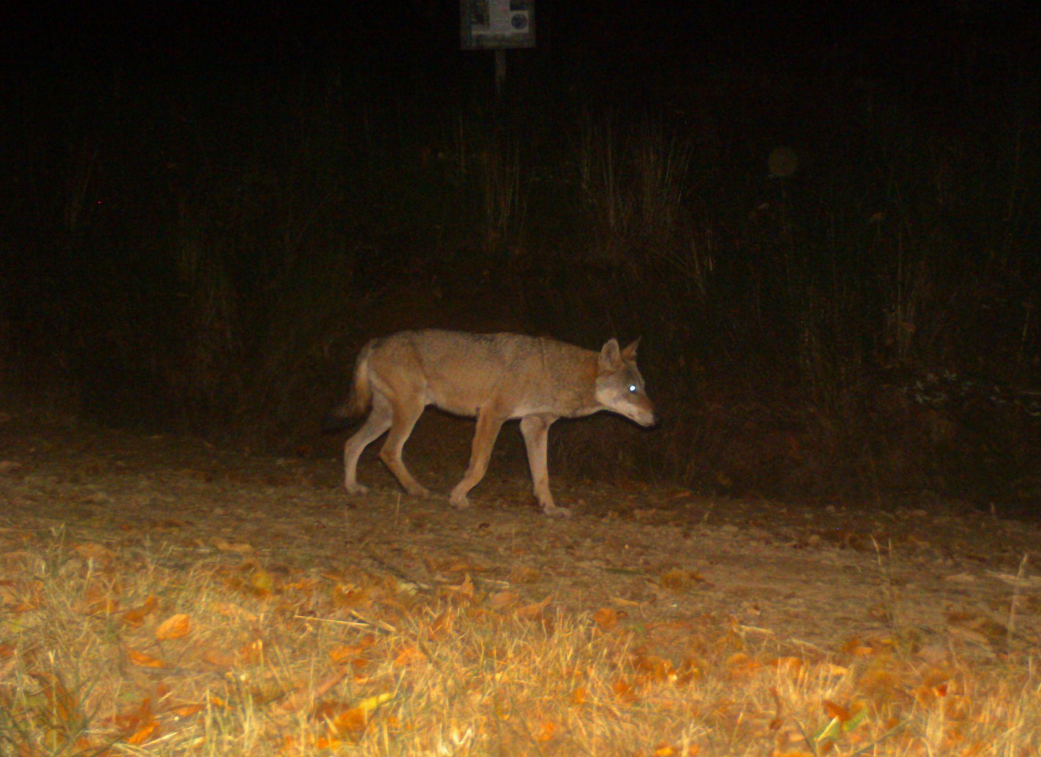 Wolf howling al parco dell'Acquerino, ovvero parla coi lupi