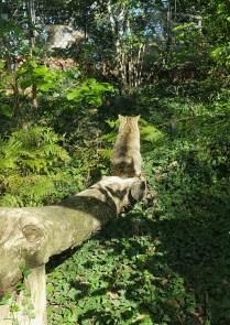 Nel Parco di Poppi, il gatto selvatico si rilassa nel suo ambiente