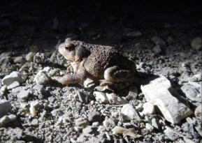 Un rospo comune (bufo bufo) attraversa il fiume di pietra nella notte