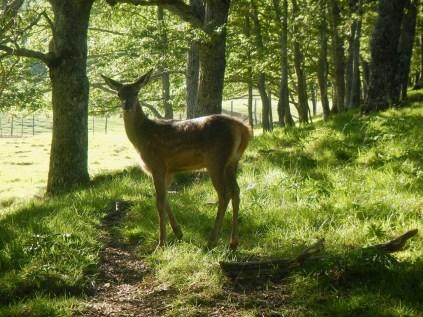 Un giovanissimo cervo nella boscaglia