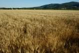 Campi di grano a fine primavera