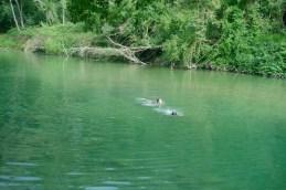 nuotando nel Merse