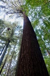 L'albero più alto d'Italia