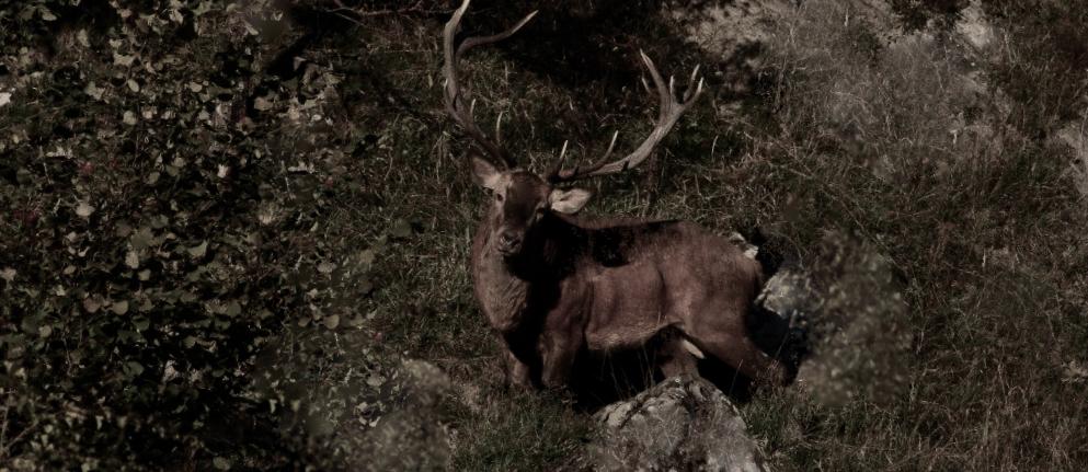 Il bramito del cervo nel Parco delle Foreste Casentinesi