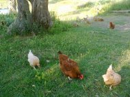 galline su fondo verde