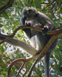 Penang - dusky leaf monkey 4