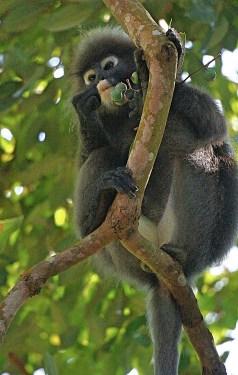 Penang - dusky leaf monkey 5