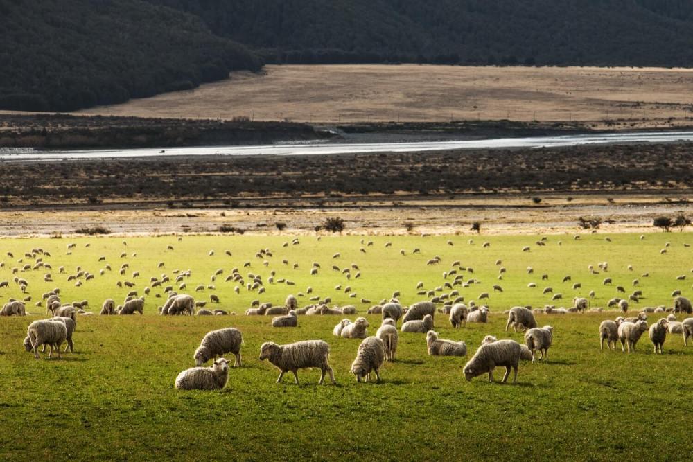 new zealand sheep grazing