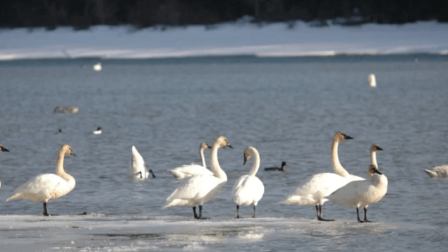 http://www.rcinet.ca/zh/wp-content/uploads/sites/6/2019/04/swan-635x357.png