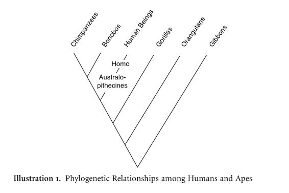 Phylogénie humaine au regard du primate