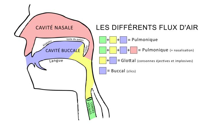 Schéma des flux d'air impliqués dans la prononciation des consonnes