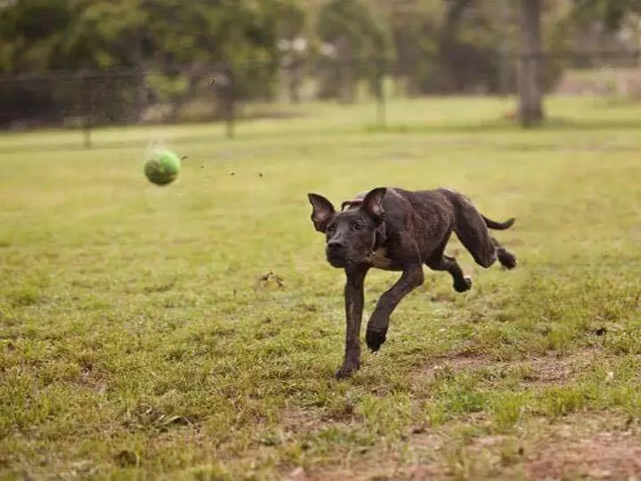 brown dog chasing a green ball across a grassy field - volunteering SEQ K9 Rescue Inc