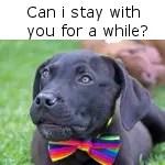 Labrador wearing a bow-tie