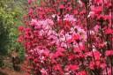 6-Mateczka-among-the-azaleas2.jpg
