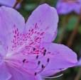 7-Mauve-azaleas.jpg