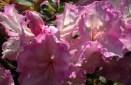 azalea-bitone-1.jpg