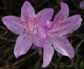 mauve-azalea.jpg
