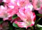 Appleblossom-azalea.jpg