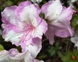 Frilly-bicolour-azalea.jpg
