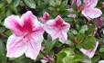 pink-face-azalea.jpg
