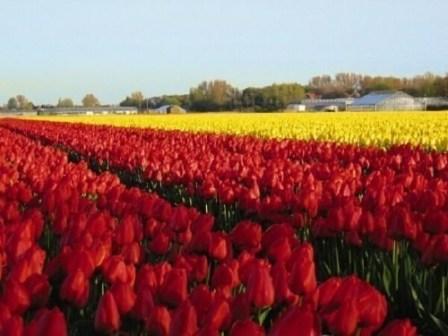 tulpen-noordwijk-aan-zee-e1450699966950