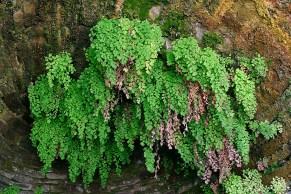 Венерина влас adiantum capillus-veneris