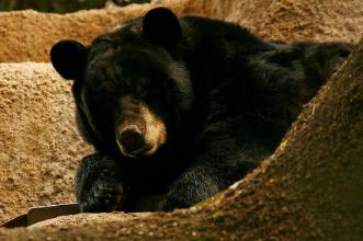 Амерички црни медвед