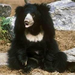 Белогруди медвед