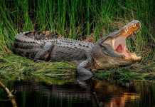 nilskiy_krokodil