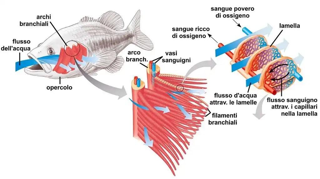 I pesci hanno sete? – Il processo di osmosi cellulare