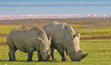 Kenya Seremara Safaris_lake_nakuru_gallery_rhino_pair
