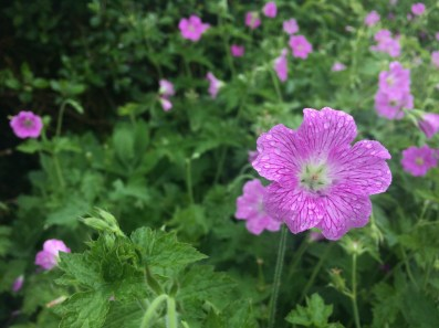 The geranium sanguineum, or bloody cranesbill, is one of 1,100 plant species that grows in the rocky Burren region of County Clare. Seventy percent of Ireland's wildflowers grow here.