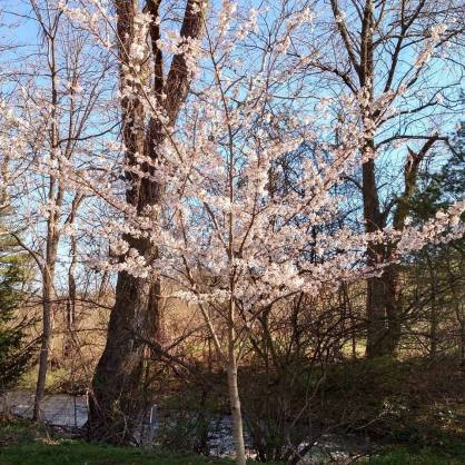 Our lone cherry tree