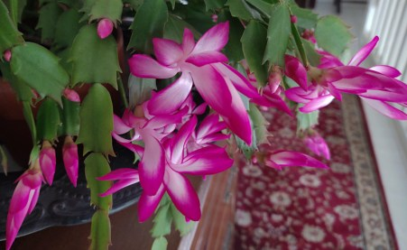 The SFH Thanksgiving Cactus