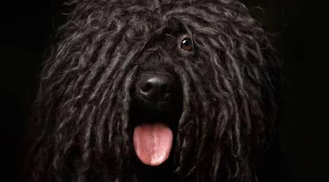 Las 5 razas de perro más curiosas
