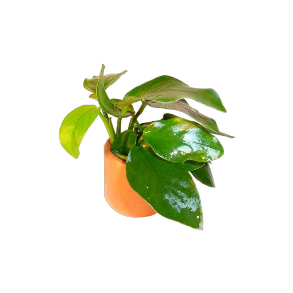 Anubias Nana 3cm Terracotta Pot