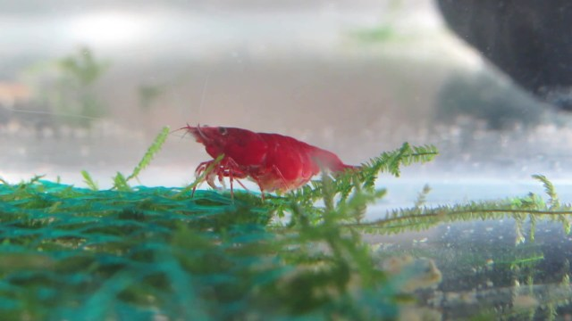 Berried Red Cherry Shrimp Photo