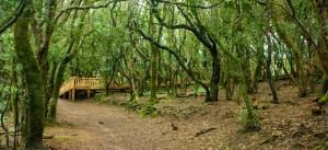 anaga forest tenerife