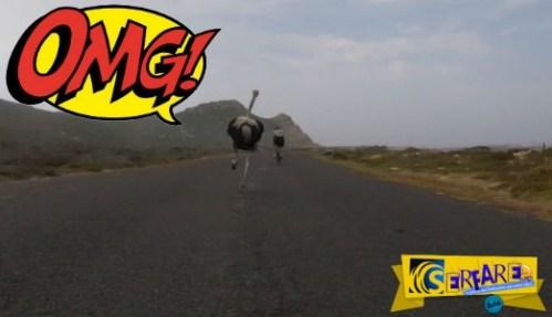 Θα κλάψετε από το γέλιο – Στρουθοκάμηλος άρχισε να κυνηγά… ποδηλάτες