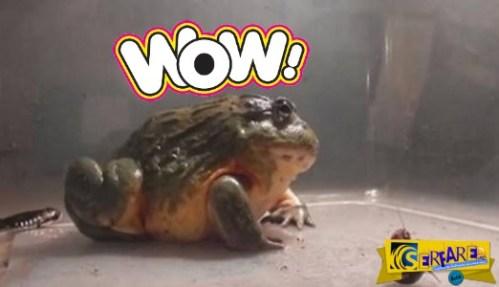 Ένας βάτραχος που τρώει τα πάντα! – Ακόμα και…
