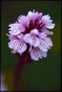Hebridean spotted orchid