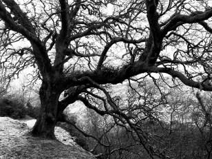 Oak on the Grenock cut