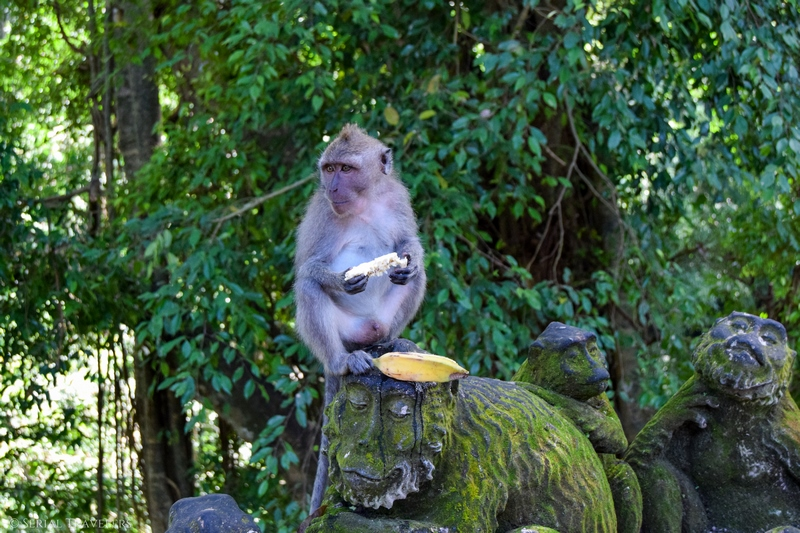 Remake de la planète des Singes à la Sacred Monkey Forest d'Ubud