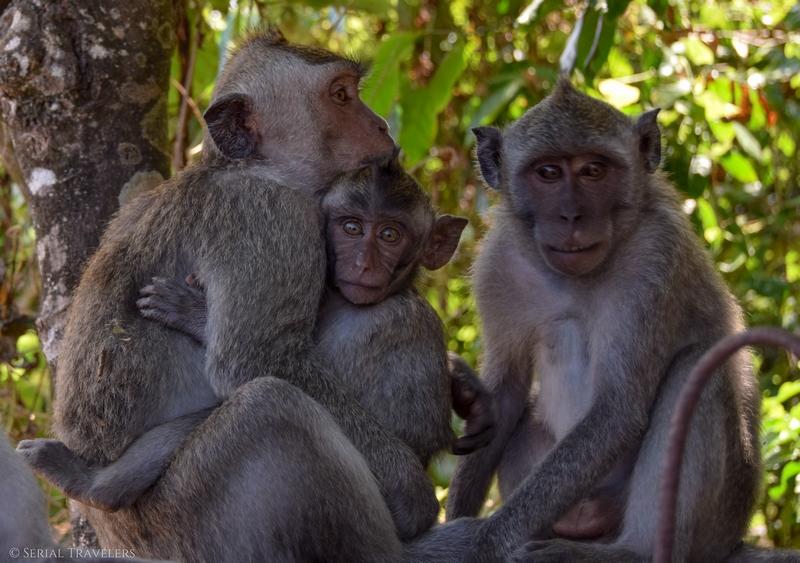 serial-travelers-bali-singe-macaque-bébé-famille-uluwatu