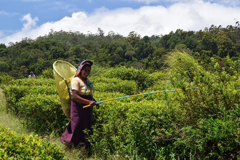 serial-travelers-sri-lanka-nuwara-eliya-tea-leaf-picker