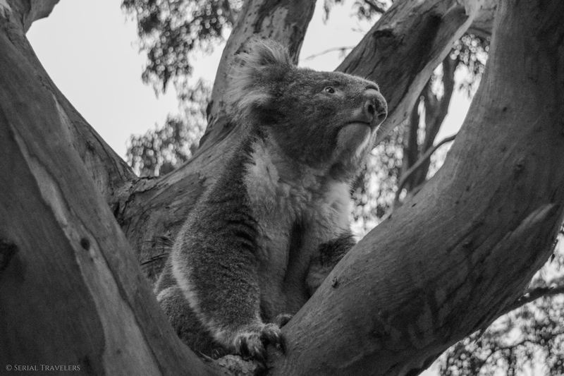 serial-travelers-australie-great-ocean-road-kennett-river-koala-selfie-6
