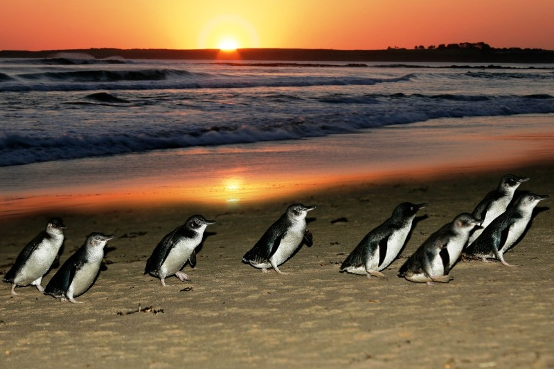 Phillip_Island_Penguin_Parade_at_Sunset
