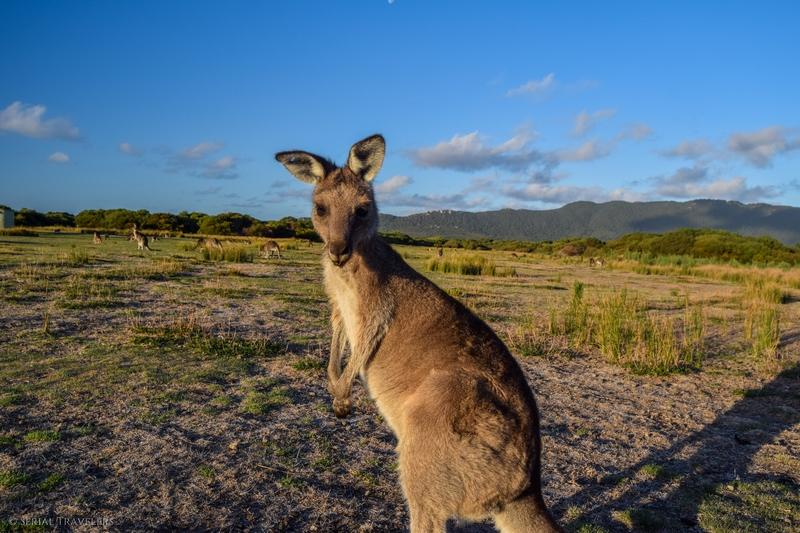 serial-travelers-australie-wilsons-promontory-national-park-prom-wildlife-walk-kangaroo-selfie9