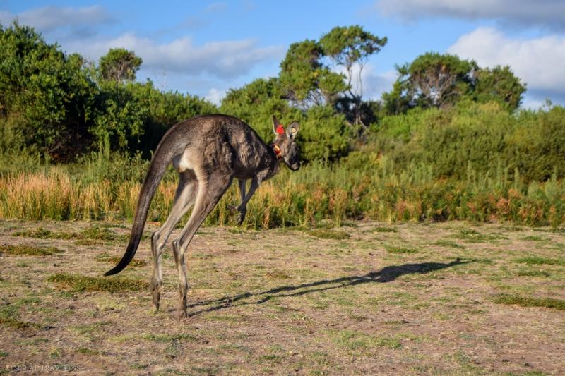 serial-travelers-australie-wilsons-promontory-national-park-prom-wildlife-walk-kangaroos-saut